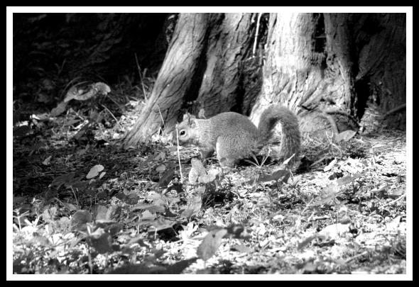 Squirrel in the Phoenix Park