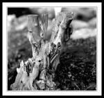 Broken stump of tree in peoples gardens three