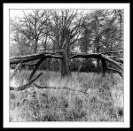 Crucifix like broken tree