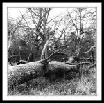 fallen tree in the phoenix park