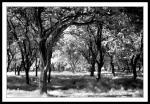 Trees in Phoenix Park May 2008